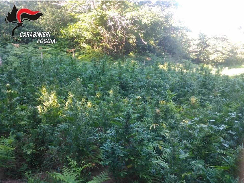 Coltivazioni di cannabis sul Gargano